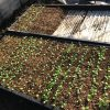 レタス苗をプラグトレーへ