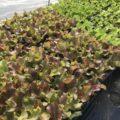寒さに強いリーフレタス栽培中!