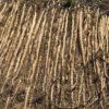 自然薯の収穫